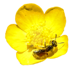 Tiny Wild Bee Feasting on a Buttercup PNG by Bunny-with-Camera
