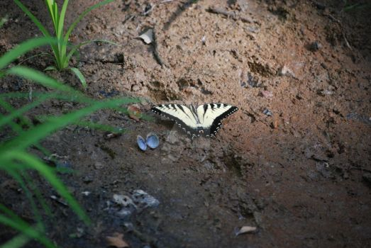 Swallowtail by mirielthepiratelover