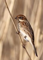 Female Reed Bunting by pell21