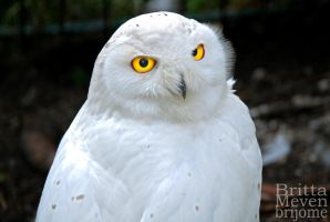 Snow owl2 by brijome