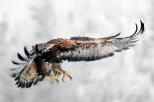 Golden Eagle 04 by Starfall00