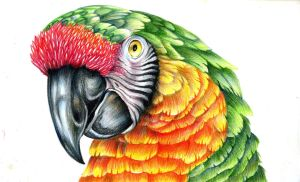 Hybrid macaw by FeatheredDiva