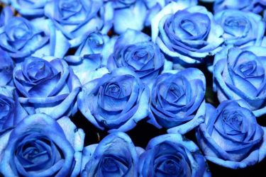 Blue Roses by Turtleless