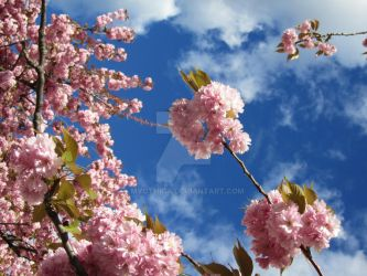Cherry Blossoms III by Styxeria