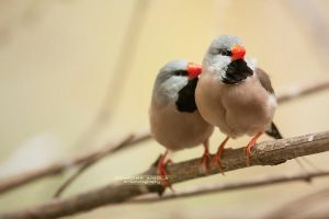 Long-tailed finch by DominikaAniola