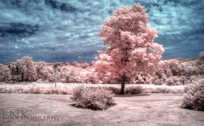 Under the Big Pink Tree by Enkphoto