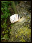 Snail on stone by SeriantSlyjarr