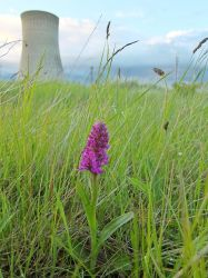 Northern Marsh Orchid by RoseSparrow