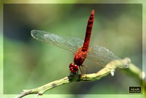 The Red Dragon Fly by iwoth