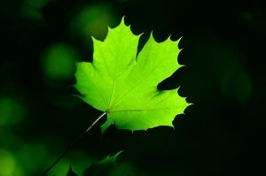 Leaf alight by 1000WordsofCanada