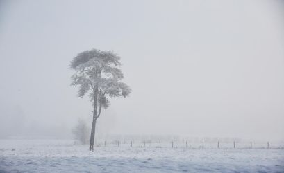 Scots Pine in the Mist by younghappy