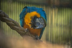 Blue and Yellow Macaw - Ara Ararauna by Yuukon