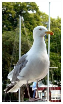 Seagull - VII by TheOneAndUlmi