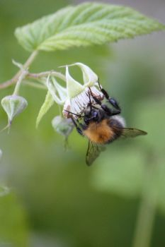 Bee on raspberry by solariahues