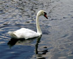 Swan by photo67