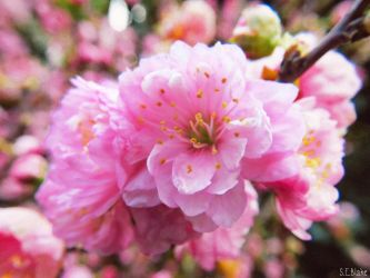 dwarf flowering almond 2 by kiwipics