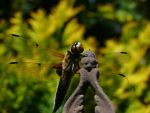 Dragonfly 8 by BVFoto