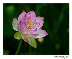 Sacred Lotus - open by substar