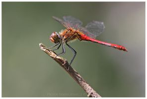 Sympetrum sanguineum Male by Soczi