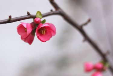 Japan Quince Flowers by Lissou-photography