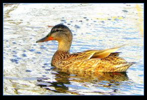 Charming And Sunlit Female Duck. by JocelyneR