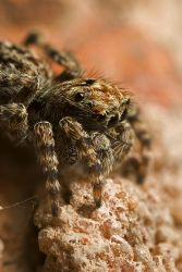 Jumping Spider 2 by Alliec