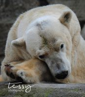 Polar bear by tessyphotography