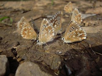 butterfly family lat. Lycaenidae by RED-ADLER