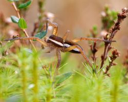 dolomedes fimbriatus by mescamesh