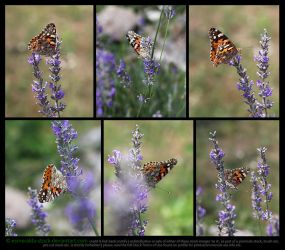 Painted Lady Butterfly On Lavender Stock Pack 2 by Esmeralda-stock