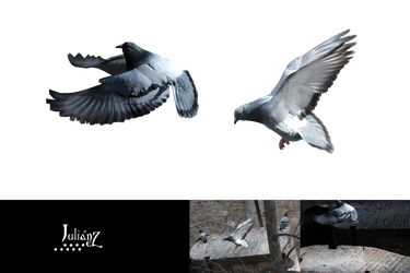 Two pigeons flying by Julianez