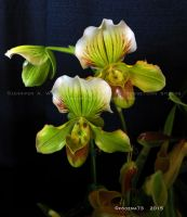 Orchid Show 2015 no.23 by Foozma73