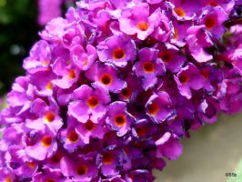 Butterfly Bush by Lionpelt-66
