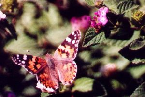 Painted Lady on Lantana by PatGoltz