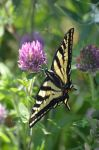 Papilio Machaon of Oregon by A1Z2E3R
