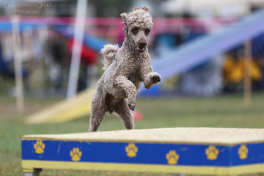 Happy Dog Agility V by Deliquesce-Flux