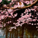 Cherry Blossoms of April by Zeitwolf