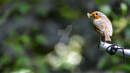 Our Robin 2 20180529 by graphic-rusty