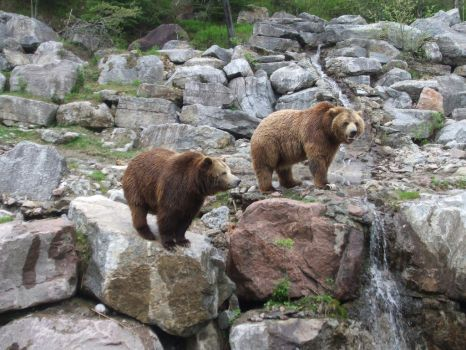 Kodiak Bears by purple-the-cactus