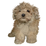 Havanese puppy free stock by JaneEden