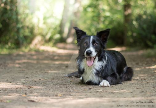 Border collie resting on the path by Qualisco