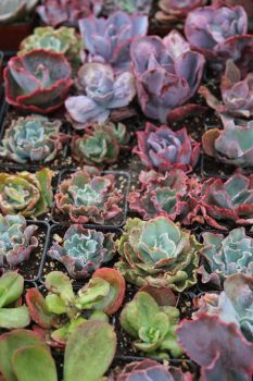 Succulents by ChinookDesigns