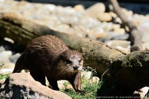 The Otter by Havidor