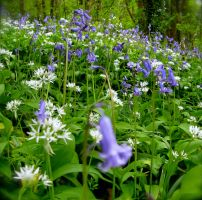 Bluebells and Garlic by KateHodges