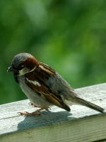Sparrow by LucieG-Stock