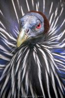Vulturine guineafowl by FerBarchetta