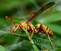 Yellow Jacket having a drink. by nolra