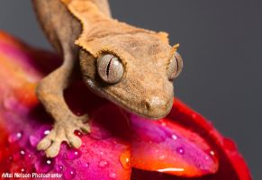 Crestie on a Freesia 2 by AngiWallace