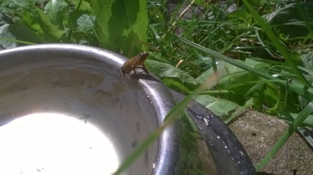 Even bees are thirsty by Laderia