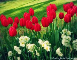 Red Tulips by NoFeelingLeftx